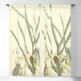Luisia psyche Curtis' 92 (Ser. 3 no. 22) pl. 5558 (1866) Blackout Curtain