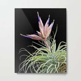 Dr Ropata, epiphyic airplant from Guatemala Metal Print