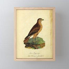 Hen Harrier, falco pygargus25 Framed Mini Art Print