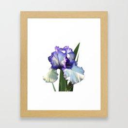 Iris 'Freedom Song' on white Framed Art Print
