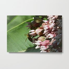 Honeybee on Milkweed Metal Print