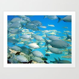 School of Fish - Chubs and Goatfish Art Print