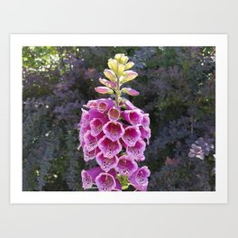 Gloves in summer!  Foxglove, Digitalis purpurea Art Print