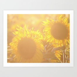 Glowing in Sunlight Sunflower Photography Art Print