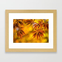 Maple in the gold fall Framed Art Print
