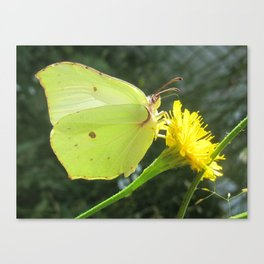 Brimstone butterfly and yellow flower Canvas Print