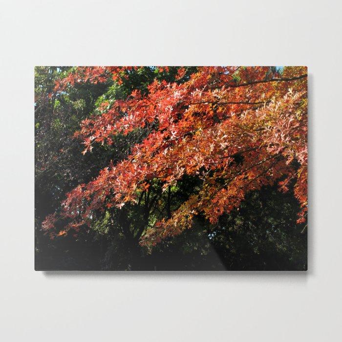 plane tree in autumn Metal Print