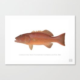 Common Coral Trout Canvas Print