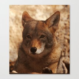 Coyote Beautiful Canvas Print