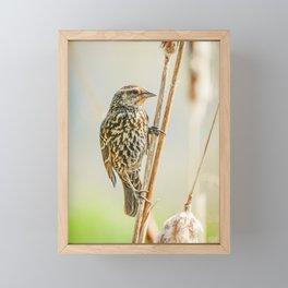 Female Redwing Blackbird  Framed Mini Art Print