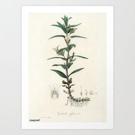 Vintage Botanical Print - 1836 - Gratiole / Common Hedgehyssop (Gratiola officinalis) Art Print