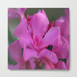 Pink Oleander Flower With Green Leaves in the Background Metal Print