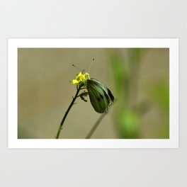 Green Winged Fairy Butterfly Art Print