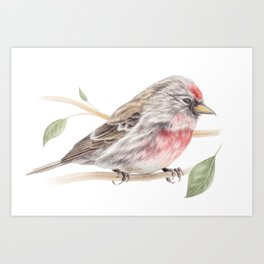 Bird - Male Common Redpoll Watercolour by Magda Opoka Art Print