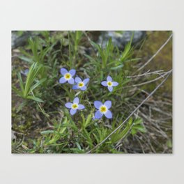 Thyme Leaved Bluets Canvas Print