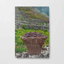 Grape harvest Metal Print