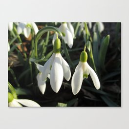 Snowdrops in the Sun Canvas Print