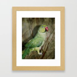Indian Ringneck Parrot - Cherokee Framed Art Print