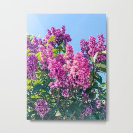 Purple Lilac In A Sunny Spring Day Metal Print