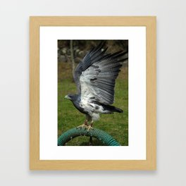 Buzzard Eagle With Flapping Wings Framed Art Print