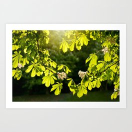 Flowering Aesculus horse chestnut foliage Art Print