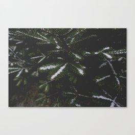 Firs. Canvas Print