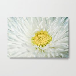 White Marguerite Daisy Flower Metal Print