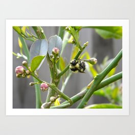 Lemon blossom bumble Art Print