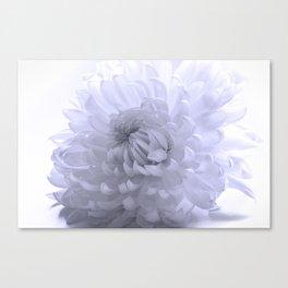Chrysanthemum in blue  Canvas Print