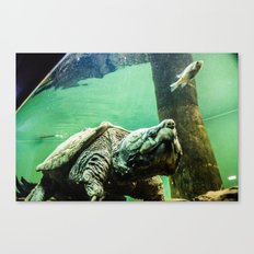 An Alligator Snapping Turtle  Canvas Print