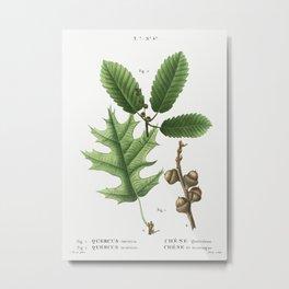 1. Eastern black oak, Quercus tinctoria 2. Chestnut oak, Quercus montana from Traité des Arbres et A Metal Print
