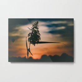 Reed plume at sunset Metal Print