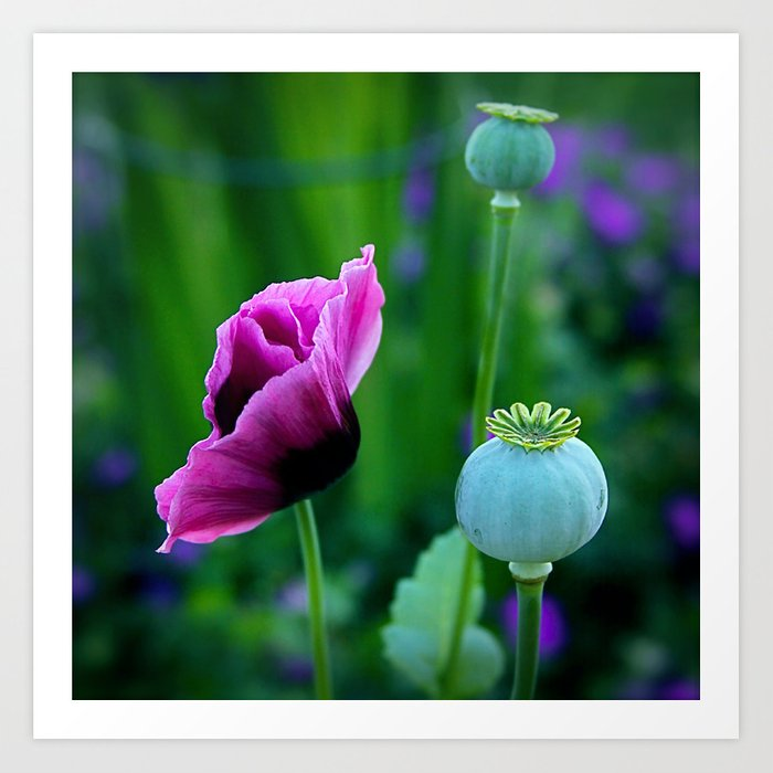 Oriental Poppies Art Print
