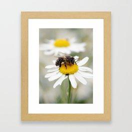 Biene auf der Kamille Wiese Framed Art Print