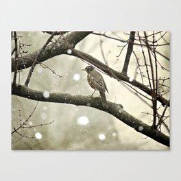American Robin (Turdus migratorius) in Winter Canvas Print