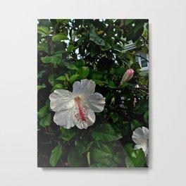 Hawaii Hibiscus in Haleiwa, Oahu Metal Print