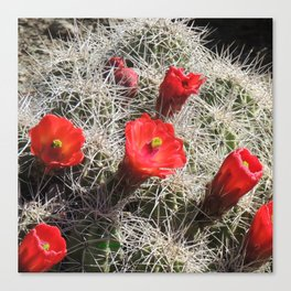 A Hedgehog Cactus Looks Sunward Canvas Print