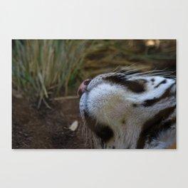 tiger chin Canvas Print