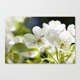 pear flowers Canvas Print