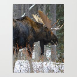 Massive male moose on the loose in Jasper National Park Poster