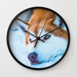 Sleepy Orange Siberian Husky (Color) Wall Clock