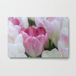 Tulips In White And Pink Metal Print