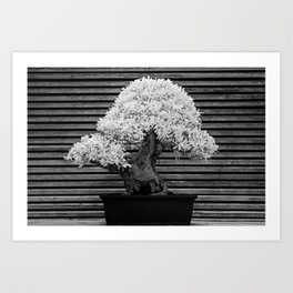 A Bonsai Olive Tree Thrives in a Japanese Garden Art Print