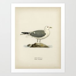 Common gull (larus canu) illustrated by the von Wright brothers Art Print