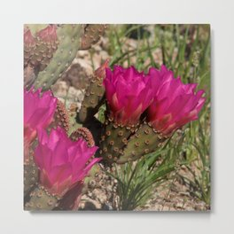 Beavertail Cactus in Bloom - II Metal Print