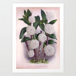 Vintage White Orchid Dendrobrium Purpurem Candidulum Lindenia Collection Art Print