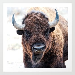 American Bison  -  A Living National Treasure Art Print