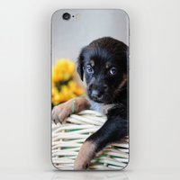 puppies iPhone & iPod Skins featuring Puppies by Photography By SidD