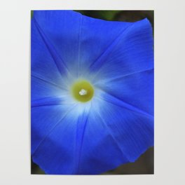 Blue, Heavenly Blue morning glory Poster