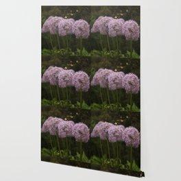 Purple Allium Ornamental Onion Flowers Blooming in a Spring Garden 2 Wallpaper